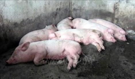 Philippines ban bố tình trạng thảm họa do dịch tả lợn châu Phi