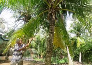 Thành Thới A trồng dừa theo hướng hữu cơ