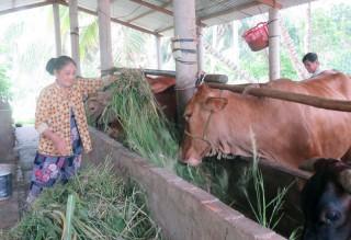 Nuôi bò sinh sản hiệu quả kinh tế cao