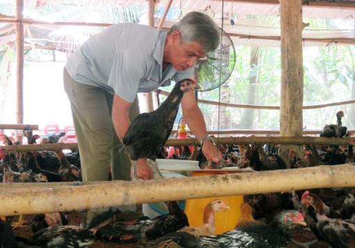 Nuôi gà trong vườn dừa hiệu quả cao