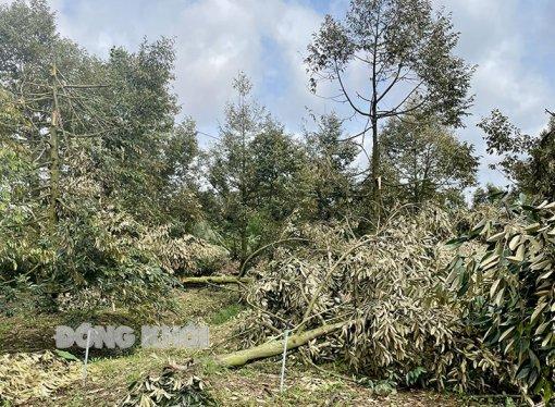 Dông, lốc làm thiệt hại nhiều nhà cửa, cây ăn trái