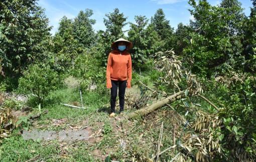 Vườn trái cây đặc sản bị thiệt hại do giông lốc