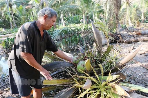 Hiệu quả sau 2 đợt phun diệt sâu đầu đen hại dừa