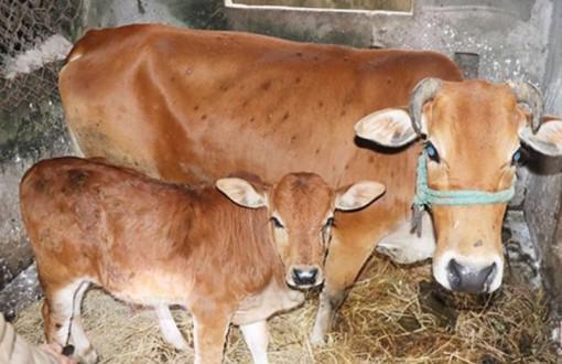 Bến Tre hỗ trợ kinh phí điều trị chống phản ứng sau tiêm phòng bệnh viêm da nổi cục cho đàn trâu, bò