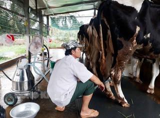 Hộ nuôi bò sữa vững tâm trước dịch Covid-19