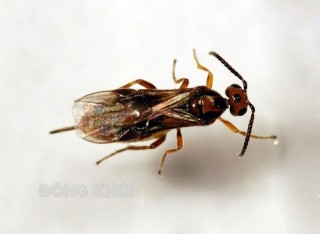 Kiểm soát sâu đầu đen hại dừa bằng nuôi ong ký sinh Habrobracon hebetor