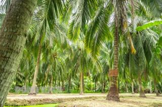 Cơ bản hoàn thành giải ngân chính sách hỗ trợ người trồng dừa