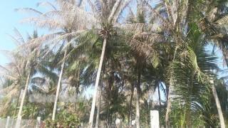 Sâu đầu đen gây hại trên 6 trăm ha dừa