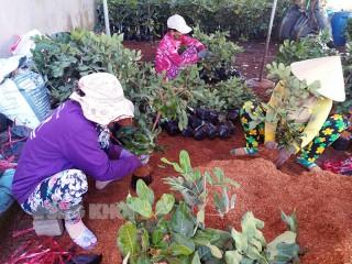 Xây dựng trung tâm giống cây trồng, hoa kiểng Chợ Lách